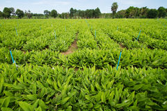 Finger root tree organic herbs farm Royalty Free Stock Photo