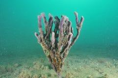Finger sponge. Purple finger sponge partially covered with undefined dark layer on the bottom of Mahurangi Harbour Stock Image