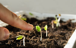 Finger on top indicates the sprout. Finger obliquely indicates the sprout. life concept Stock Photos