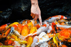 Finger touching colorful koi carps Royalty Free Stock Image