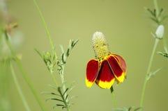 Fingerborgblomma också som är bekant som den mexicanska hatten, blom i Texas Långa spinkiga stammar med gul och orange blom arkivfoton