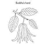 Fingered citron , Citrus medica , or Buddha s hand - exotic fruit Stock Photography