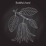 Fingered citron , Citrus medica , or Buddha s hand - exotic fruit Royalty Free Stock Images