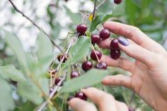 Fingeres femeninos que escogen la cereza madura de una rama fotografía de archivo