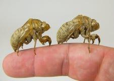 fingergräshoppa arkivfoton