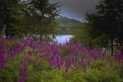 Fingerhüte dartmoor Nationalpark Devon Lizenzfreies Stockbild