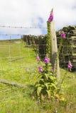 Fingerhut, die durch Zaun wild wächst stockfoto