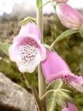 Fingerhut - korsische Blume im Berg lizenzfreie stockfotografie