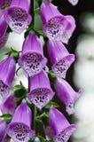 Fingerhut purpurea Lizenzfreie Stockfotografie