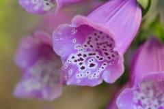 Fingerhut purpurea Stockbild