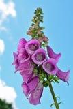 Fingerhut purpurea gemeine Fingerhut lizenzfreie stockfotografie