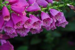 Fingerhut purpurea L Lizenzfreies Stockbild