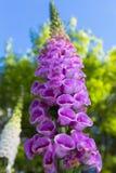Fingerhut-Fingerhut purpurea in voller Blüte in Bokrijk stockbild