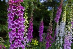 Fingerhut-Fingerhut purpurea in voller Blüte in Bokrijk mit einem unscharfen Hintergrund stockbild