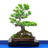 Fingerkiefer Pinus parviflora Nadelbaum des Japaners fünf als Bonsais t stockbilder