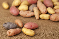 Fingerling potato variety Royalty Free Stock Photography