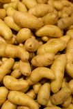 Fingerling Potatoes. A collection of fingerling potatoes, which are a small, stubby variety popular in cooking Stock Image