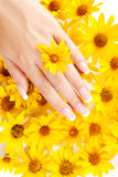 Fingernails and flowers. French manicure on the hands of woman over background from yellow flowers stock photography