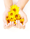 Fingernails and flowers. French manicure on the hands of a woman, with yellow flowers in hands, on a white background royalty free stock images