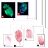 Fingerprints comparison. Unknown fingerprints comparison in a criminology database. Colored fingerprints on a white and black backgrounds Stock Photos