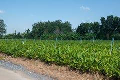 Fingerroot farm Royalty Free Stock Photo