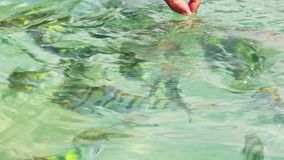 Fingers Feed Stripy Fish in Transparent Water with Gleams. Person fingers feed flock of small yellow stripy fish in transparent azure ocean water with gleams stock video footage