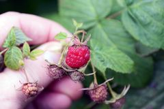 Fingers holding a branch with ripe raspberries Stock Photos