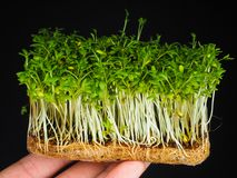 Watercress. Fingers holding home grown watercress after removal from a plastic container in which it is often sold, showing a conglomeration of roots and shoots Royalty Free Stock Photo