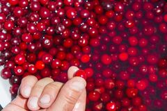 Fingers holding one cherry Stock Image