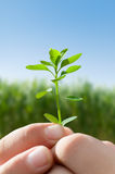 Fingers holding a seedling. Young child holding a seedling plant Royalty Free Stock Photography