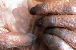 Fingers of the orangutan. Stock Photography