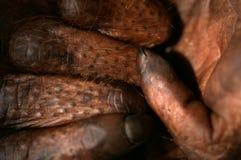 Fingers of the orangutan. Stock Photography