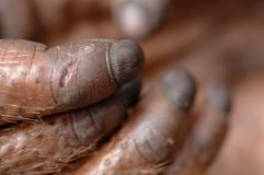 Fingers of the orangutan. Stock Images
