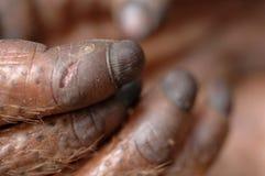Fingers of the orangutan. Stock Images