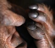Fingers of orangutan Royalty Free Stock Images
