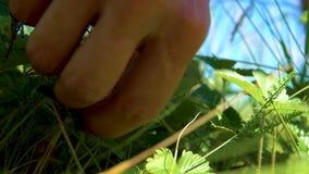 Picking wild strawberries. stock video