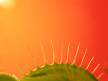 Fingers of Venus 2. Venus flytrap up close, orange background royalty free stock images