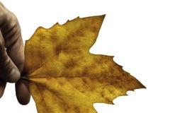 Fingertips holding fall leaf Stock Images