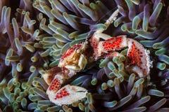 Fingret spikar den storleksanpassade krabban i en anemon Royaltyfria Bilder