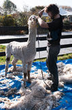 The finished Alpaca getting some final touch ups Stock Photos