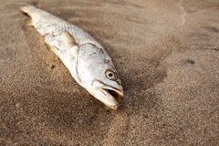 Finished fish. A dead fish lying on the beach Stock Photo