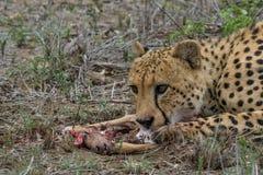 Finishing off. Male cheetah eating impala lamb he caught Royalty Free Stock Image