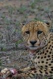 Finishing off. Male cheetah eating impala lamb he caught Royalty Free Stock Photo