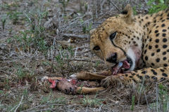 Finishing off. Male cheetah eating impala lamb he caught Royalty Free Stock Photos