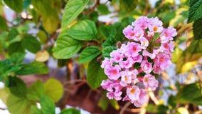 Fink-Blütenblumen Lizenzfreies Stockfoto