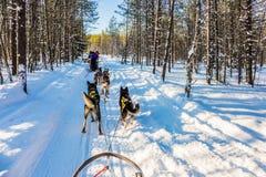 finland Fins Husky Sled Dog stock afbeelding
