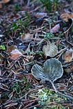 Finland: Frosty leaves in autumn Royalty Free Stock Photo