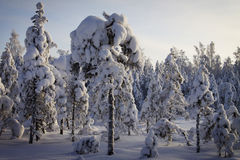 Finland: Winter in a forest Royalty Free Stock Photos