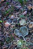 Finlandia: Hojas escarchadas en otoño Foto de archivo libre de regalías