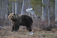 Finlandia niedźwiedź Obraz Royalty Free